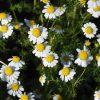「胎菊」「杭白菊」とは?菊花茶の種類と効能の違い
